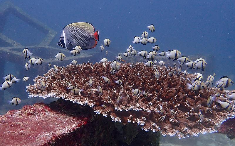 ラチャヤイ島 サンゴ礁とアンダマン海固有種