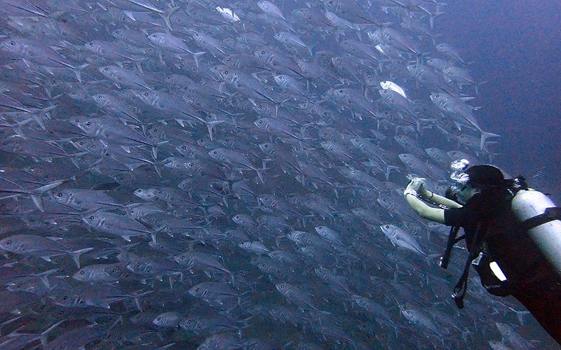ギンガメアジの群れ