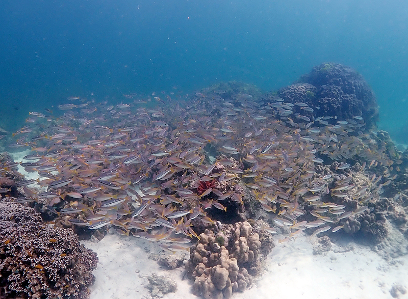 タイ プーケット ダイビング ブログ 名前が変わった魚 フタホシフエダイ
