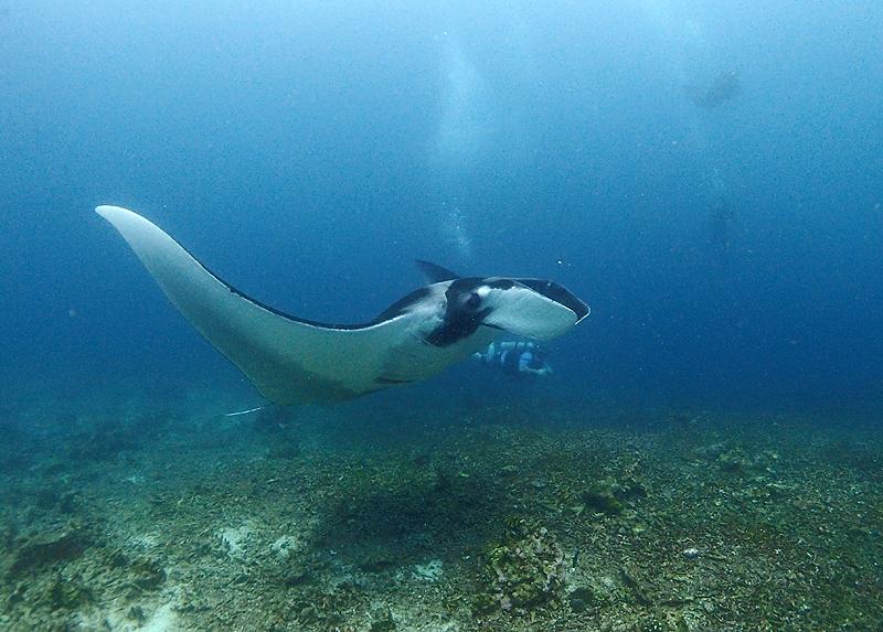タイ プーケット ダイビング ブログ 名前が変わった魚 マンタ